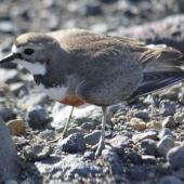 Banded dotterel. Adult female. Waiouru Military Training Area. Image © Kerry Oates by Kerry Oates Photo courtesy of; Enviro Research Ltd