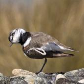 Banded dotterel. Adult male after scratching its head. Boulder Bank,  Nelson, October 2015. Image © Rebecca Bowater by Rebecca Bowater FPSNZ AFIAP www.floraandfauna.co.nz