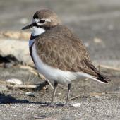 Banded dotterel. Adult male, dorsal view. Motueka sandspit Tasman Bay, August 2013. Image © Rob Lynch by Rob Lynch