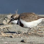 Banded dotterel. Adult male foraging. Motueka sandspit Tasman Bay, August 2013. Image © Rob Lynch by Rob Lynch