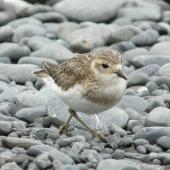 Banded dotterel. Juvenile walking. Kaikoura Peninsula, February 2013. Image © Alan Tennyson by Alan Tennyson
