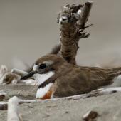 Banded dotterel. Male on nest. Waikanae River estuary, January 2019. Image © Roger Smith by Roger Smith