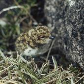 Banded dotterel. Auckland Island banded dotterel chick. Adams Island, Auckland Islands, December 1973. Image © Department of Conservation (image ref: 10031488) by Rod Morris, Department of Conservation Courtesy of Department of Conservation