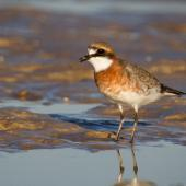 Lesser sand plover. Breeding plumage. Broome, Western Australia, March 2015. Image © Ric Else by Ric Else
