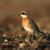 Lesser sand plover. Adult in breeding plumage. Bering Sea coast near Meinypilgyno, Chukotka, June 2008. Image © Sergey Golubev by Sergey Golubev