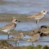 Lesser sand plover. Non-breeding plumage (bird on left). Comparison with greater sand plover (right). Red-necked stints on foreground. Cairns, Queensland, January 2014. Image © Ric Else by Ric Else