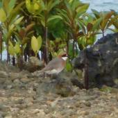 Lesser sand plover. Breeding plumage. Pohnpei, Federated States of Micronesia, April 2009. Image © Glenn McKinlay by Glenn McKinlay