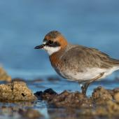 Lesser sand plover. Adult male in breeding plumage. Wellington Point, Queensland, March 2020. Image © Terence Alexander 2020 birdlifephotography.org.au by Terence Alexander