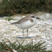 Greater sand plover. Non-breeding plumage. Karaka shellbank, September 2006. Image © Tim Barnard by Tim Barnard