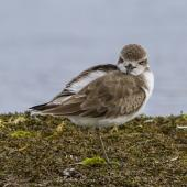 Greater sand plover. Adult showing feather detail and leg length. Awarua Bay, September 2015. Image © Glenda Rees by Glenda Rees https://www.flickr.com/photos/nzsamphotofanatic/ https://www.facebook.com/NZBANP/