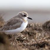 Greater sand plover. Nonbreeding adult. Awarua Bay, September 2016. Image © Paul Sorrell by Paul Sorrell
