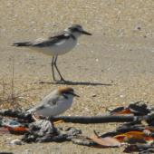 Greater sand plover. Nonbreeding adult (red-capped plover in foreground). Queensland,  Australia, July 2011. Image © Ray Buckmaster by Ray Buckmaster