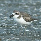Greater sand plover. Bird in non-breeding plumage, with crab. Miranda, April 2007. Image © Phil Battley by Phil Battley