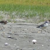Oriental dotterel. Adult in partial breeding plumage chasing New Zealand dotterel. Ohiwa Spit, Bay of Plenty, January 2016. Image © Alan Tennyson by Alan Tennyson
