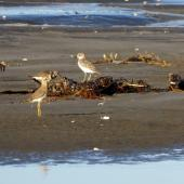 Oriental dotterel. With New Zealand dotterel and 3 turnstones beyond. Ohiwa beach, January 2016. Image © Joke Baars by Joke Baars