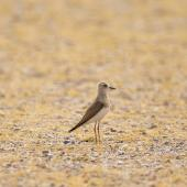 Oriental dotterel. Adult female. Dundgovi, Mongolia, July 2012. Image © Paul Jones by Paul Jones via Flickr, All Rights Reserved
