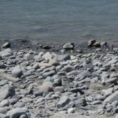 Wrybill. Three adult in 'camouflage'. Upper Rakaia River, Near Wilberforce confluence, December 2011. Image © Anita Spencer by Anita Spencer