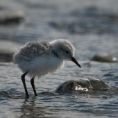 Wrybill. Chick standing in braided river. Lake Tekapo, November 2008. Image © Craig McKenzie by Craig McKenzie