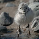 Wrybill. Front view of chick. Lake Tekapo, November 2008. Image © Craig McKenzie by Craig McKenzie