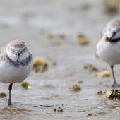 Wrybill. Non-breeding adults. Kaipara Harbour, February 2014. Image © Laurie Ross by Laurie Ross Courtesy of Laurie Ross Photography - http://laurieross.com.au/