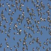Wrybill. Flock in synchronised flight display. Miranda, March 2009. Image © Craig Steed by Craig Steed