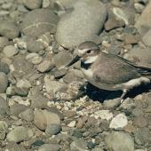Wrybill. Adult in breeding plumage at nest with chick. . Image © Department of Conservation (image ref: 10039965) by Mike Soper, Department of Conservation Courtesy of Department of Conservation