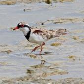Black-fronted dotterel. Adult wading in shallows. Westshore Wildlife Reserve, Napier, January 2010. Image © Dick Porter by Dick Porter
