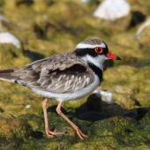 Black-fronted dotterel. Adult. Waipara river lagoon [Amberley Beach],  North Canterbury. Image © K G Shakespeare by K G Shakespeare Kevin Shakespeare Layzeboy Photography © Nature & Wildlife