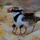 Black-fronted dotterel. Adult brooding two chicks. Waipara river lagoon [Amberley Beach],  North Canterbury. Image © K G Shakespeare by K G Shakespeare Kevin Shakespeare Layzeboy Photography © Nature & Wildlife