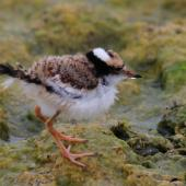 Black-fronted dotterel. Chick. Waipara river lagoon [Amberley Beach],  North Canterbury. Image © K G Shakespeare by K G Shakespeare Kevin Shakespeare Layzeboy Photography © Nature & Wildlife