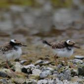 Black-fronted dotterel. Adult with three 1/2 grown chicks. Waipara river lagoon [Amberley Beach],  North Canterbury. Image © K G Shakespeare by K G Shakespeare Kevin Shakespeare Layzeboy Photography © Nature & Wildlife