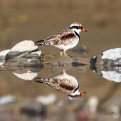 Black-fronted dotterel. Adult in breeding plumage. Manawatu River, Palmerston North, August 2012. Image © Craig Steed by Craig Steed