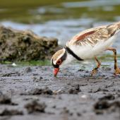 Black-fronted dotterel. Adult, feeding. Coolart Wetlands and Homestead Reserve, Victoria, Australia, February 2015. Image © Mark Lethlean by Mark Lethlean