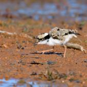 Black-fronted dotterel. Chick. Bowra - near Cunnamulla, Queensland,  Australia, August 2019. Image © Mark Lethlean by Mark Lethlean