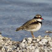 Black-fronted dotterel. Adult on shell beach. Puketutu Canal, Mangere, June 2012. Image © John Woods by John Woods