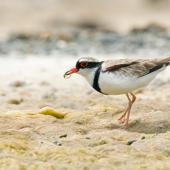 Black-fronted dotterel. Adult feeding on invertebrate prey. Napier, Hawke's Bay, December 2009. Image © Neil Fitzgerald by Neil Fitzgerald www.neilfitzgeraldphoto.co.nz