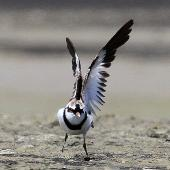 Black-fronted dotterel. Adult stretching wings. Whangaehu River estuary, January 2014. Image © Ormond Torr by Ormond Torr