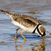 Black-fronted dotterel. Adult feeding. Whangaehu River estuary, May 2013. Image © Ormond Torr by Ormond Torr