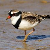 Black-fronted dotterel. Adult. Whangaehu River estuary, May 2013. Image © Ormond Torr by Ormond Torr