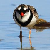 Black-fronted dotterel. Adult, frontal view. Whangaehu River estuary, May 2013. Image © Ormond Torr by Ormond Torr