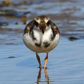 Black-fronted dotterel. Immature, frontal view. Whangaehu River estuary, May 2013. Image © Ormond Torr by Ormond Torr