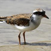 Black-fronted dotterel. Immature. Whangaehu River estuary, December 2010. Image © Ormond Torr by Ormond Torr