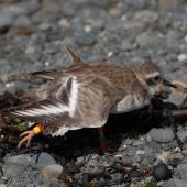 Shore plover. Juvenile wing stretching. Mana Island, March 2009. Image © Peter Reese by Peter Reese