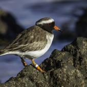 Shore plover. Adult male. Plimmerton, June 2014. Image © Toya Heatley by Toya Heatley http://www.digitalpix.co.nz