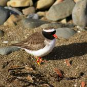 Shore plover. Adult male. Plimmerton, Porirua City, June 2011. Image © Ian Armitage by Ian Armitage