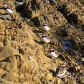 Shore plover. six adults at roost on a rocky foreshore. Plimmerton, Porirua City, June 2011. Image © Ian Armitage by Ian Armitage