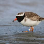 Shore plover. Adult male foraging on mudflat. Clive rivermouth, Hawke's Bay, October 2016. Image © Adam Clarke by Adam Clarke