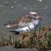 Shore plover. Adult female. Manawatu River estuary, March 2008. Image © Alex Scott by Alex Scott
