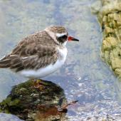 Shore plover. Immature. Plimmerton, June 2011. Image © Alex Scott by Alex Scott