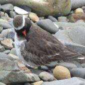 Shore plover. Adult male preening. Plimmerton, August 2011. Image © Alan Tennyson by Alan Tennyson